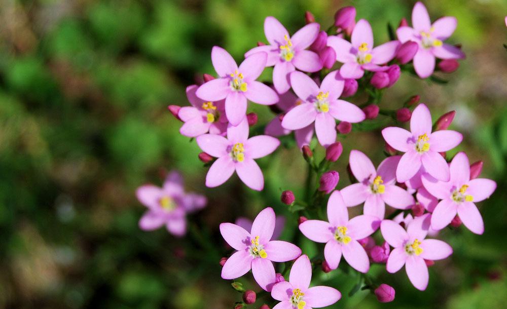 4-fleur-de-bach-numero-4-centauree-centaury-centaurium-erythraea