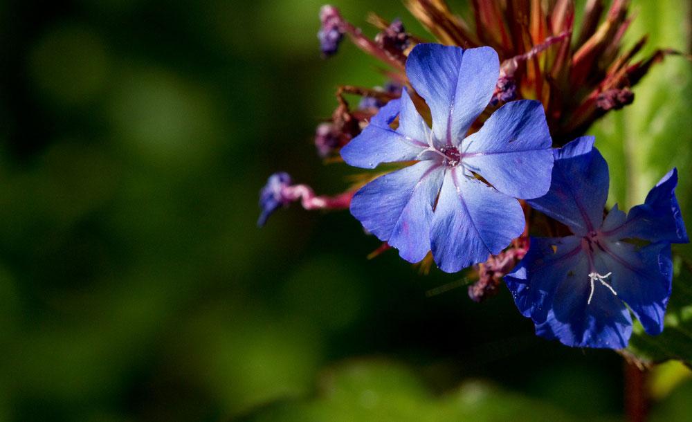 5-Fleur-de-Bach-numero-5-Plumbago-Cerato-Ceratostigma-willmottianum