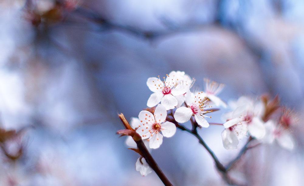 6-Fleur-de-Bach-numero-6-Prunier-myrobolan-Prunus-cerasifera